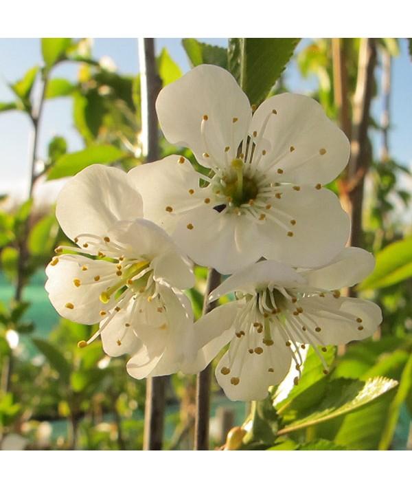 Prunus cerasus Morello - Colt (Half standard)(12lt)