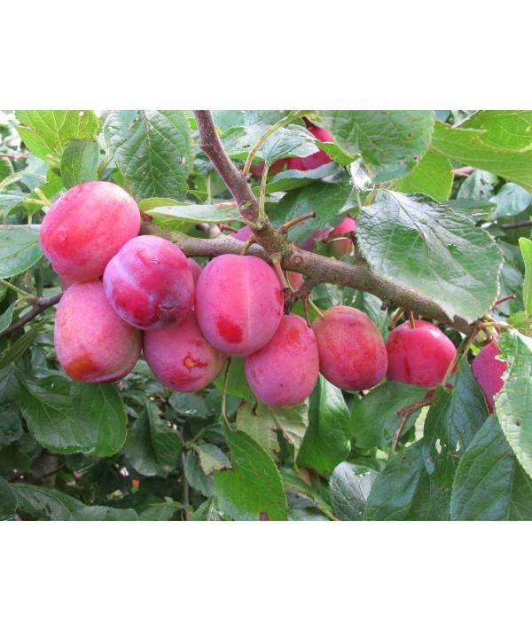 Prunus domestica Victoria - St. Julien A (Bush) (12lt)
