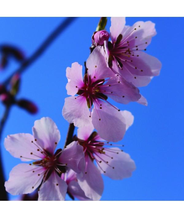 Prunus x persicoides 'Robijn' - St. Julien 'A' Rootstock (Bush) (12lt)