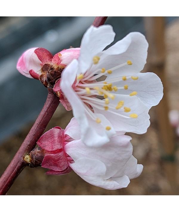 Prunus armeniaca Pink Marry - (Apricot) St Julian A (Bush) (12lt)