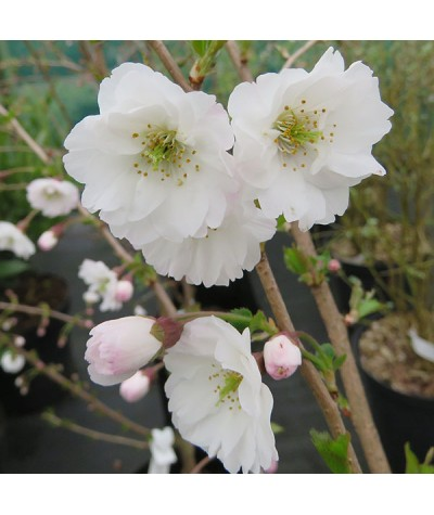 Prunus Hally Jolivete (6lt)