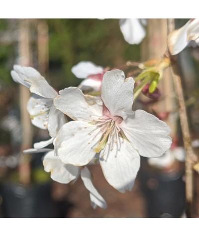 Prunus incisa Pendula (Top worked 90cm) (12lt)