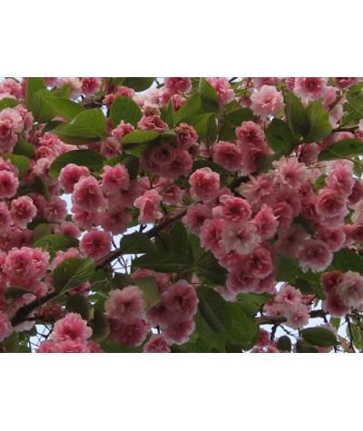 Prunus Kanzan (13.5lt)