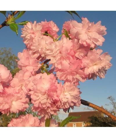 Prunus Kiku-shidare-zakura (17.5lt)