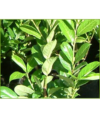 Prunus laurocerasus (6lt)