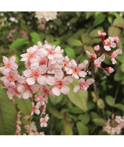 Prunus padus Colorata (17.5lt)