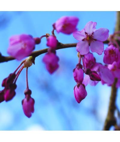 Prunus pendula Pendula Rubra (13.5lt)
