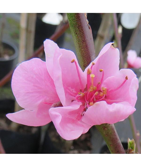 Prunus persica Rochester - St Julien 'A' [Bush](7lt)
