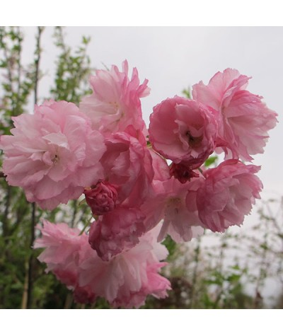Prunus Pink Perfection (17.5lt)