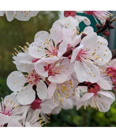 Prunus armeniaca Robada (Apricot) - St. Julien 'A' (Bush) (12lt)