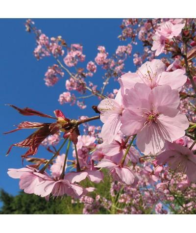 Prunus sargentii (15lt)