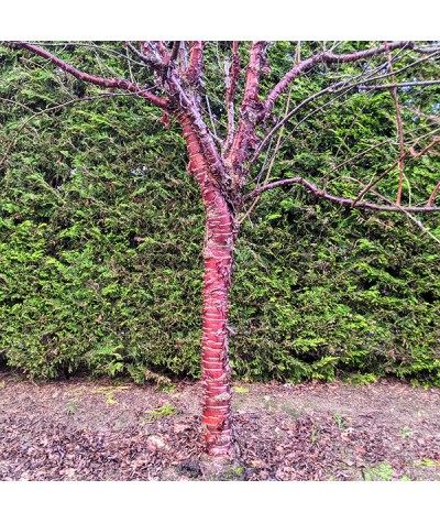 Prunus serrula (15lt)