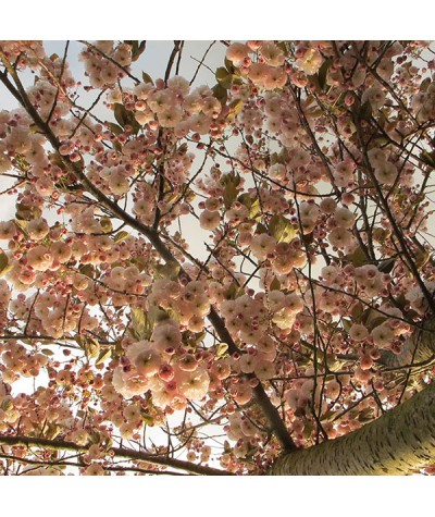 Prunus Shirofugen (35lt)