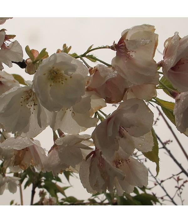 Prunus Shirotae (17.5lt)