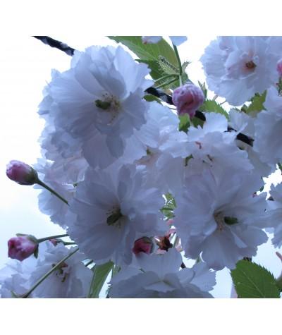 Prunus Shogetsu (13.5lt)