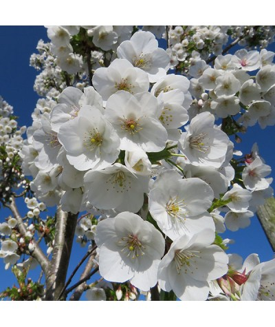 Prunus Snow Goose (15lt)