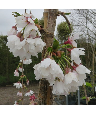 Prunus Snow Showers (13.5lt)