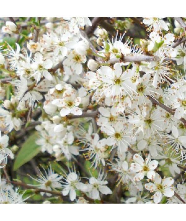 Prunus spinosa  (bare root)