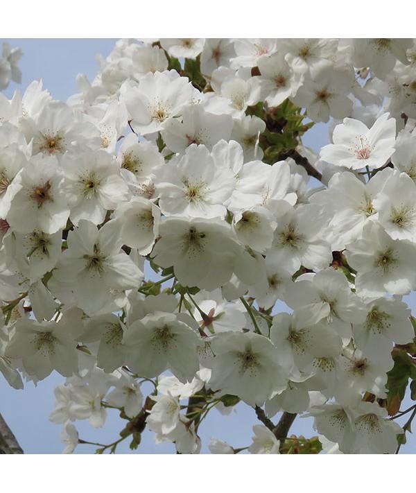 Prunus Taihaku (13.5lt)