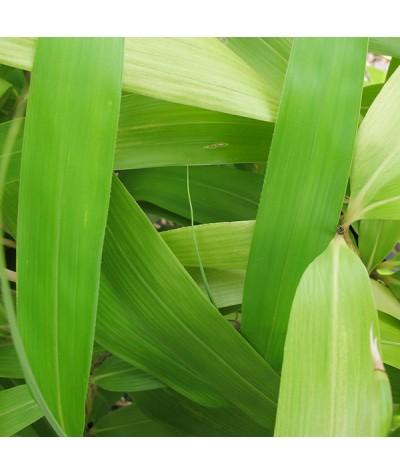 Pseudosasa japonica (3lt)