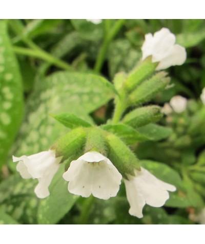 Pulmonaria Sissinghurst White (2lt)