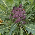 Broccoli Purple Sprouting (Brassica oleracea) (12 pack)