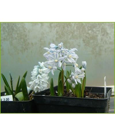 Puschkinia scillodies libanotica (1lt)