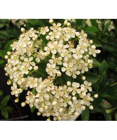 Pyracantha coccinea Red Cushion (2lt)