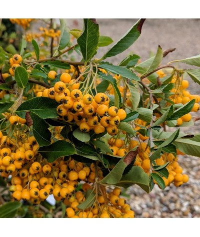 Pyracantha Golden Charmer (2lt)