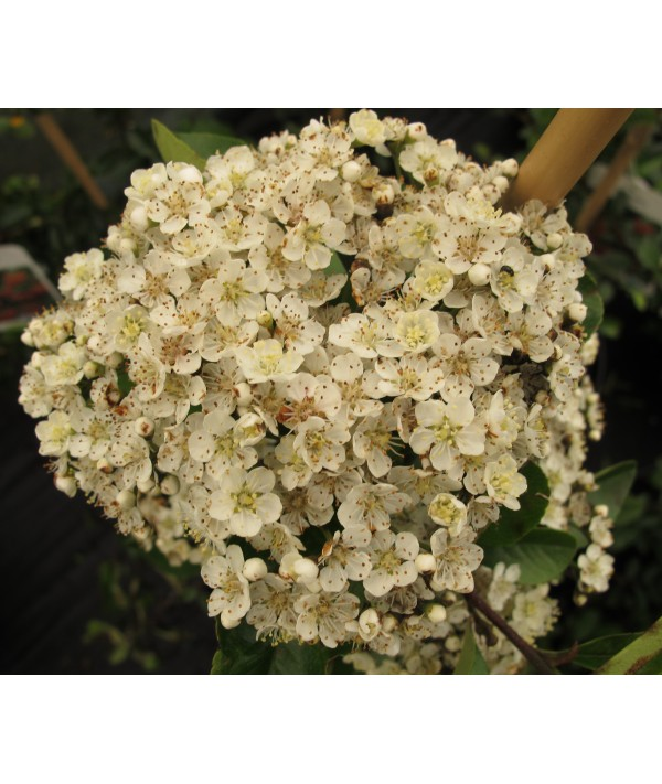 Pyracantha Mohave (2lt)