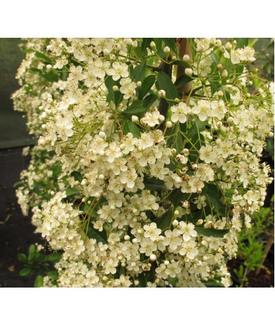 Pyracantha Orange Glow (2lt)