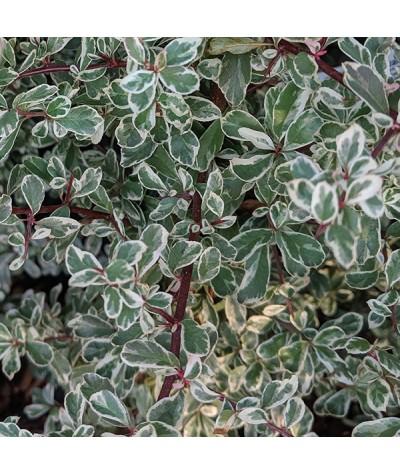 Pyracantha Sparkler (2lt)