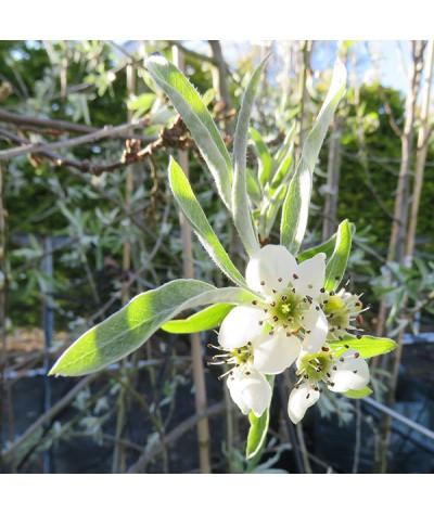 Pyrus salicifolia Pendula (17.5t)