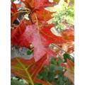 Quercus coccinea Splendens (5lt)