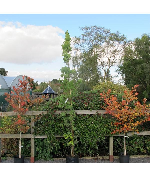 Quercus robur Fastigiata Group (17.5lt)