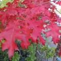Quercus rubra (10lt)