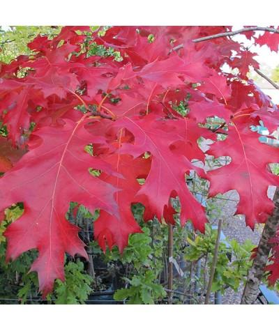 Quercus rubra (13.5lt)