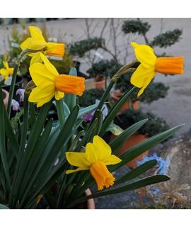 Narcissus Jetfire (9cm)