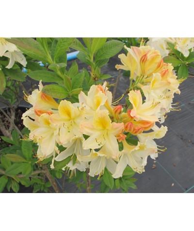 Rhododendron (Azalea) Daviesii (3lt)