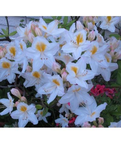Rhododendron (Azalea) Persil (5lt)