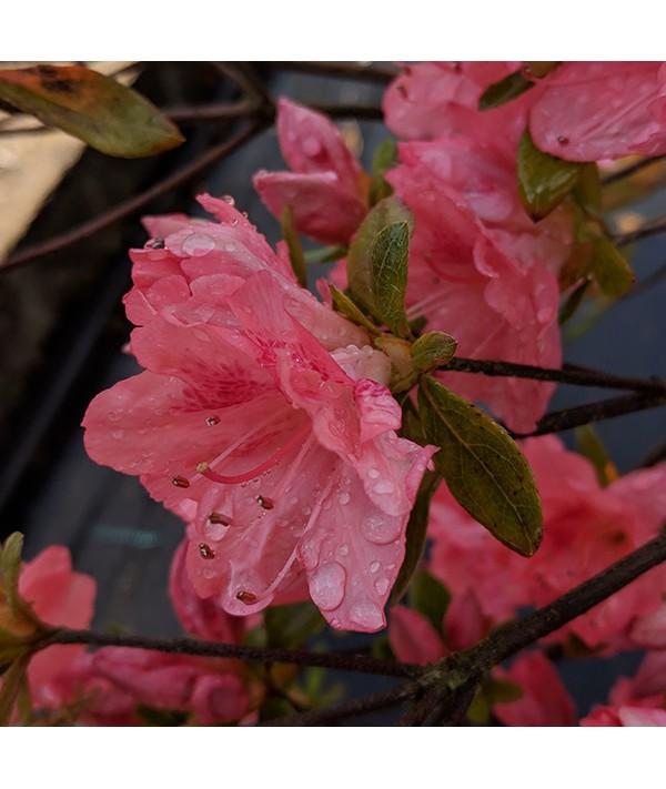Rhododendron (Azalea) Blaauw's Pink (3lt)