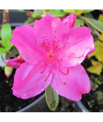 Rhododendron (Azalea) Blue Danube (5lt)