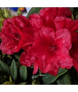 Rhododendron Dopey (10lt)