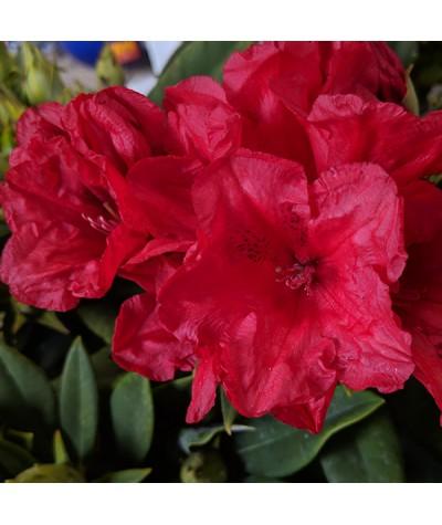 Rhododendron Dopey (20lt)