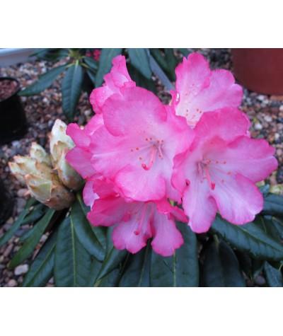Rhododendron Fantastica  (20lt)