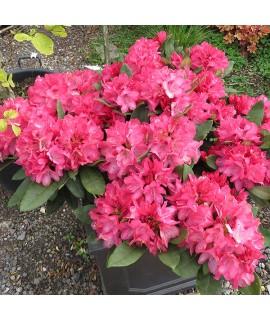 Rhododendron Fantastica  (10lt)