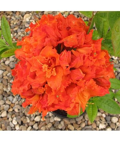 Rhododendron (Azalea) Gibraltar (3lt)