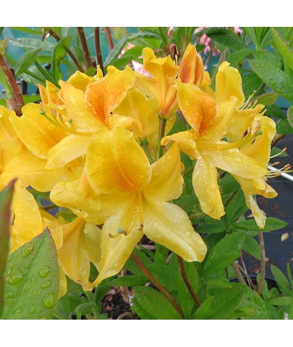 Rhododendron (Azalea) Golden Flare (3lt)