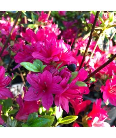 Rhododendron (Azalea) Ima-Shojo (3lt)
