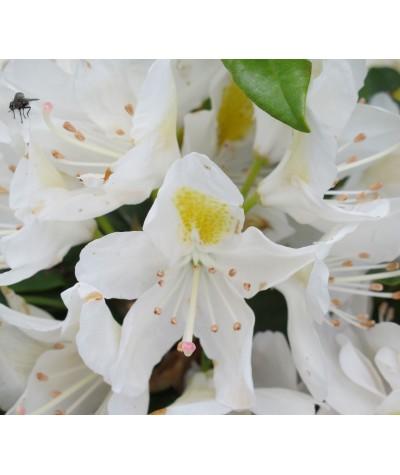 Rhododendron Madame Masson (40lt)